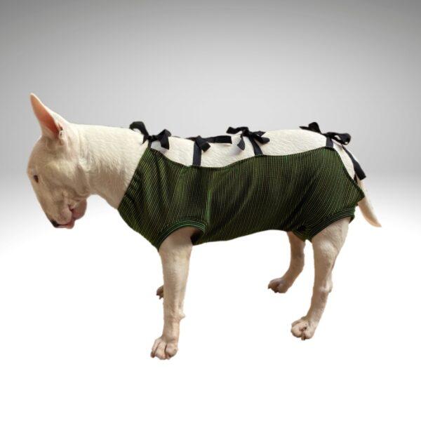 bull terrier mini blanco con faja para cuidados postoperatorio perros de Cobre